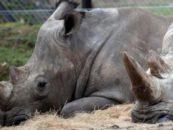 Последний самец северного белого носорога был усыплен ветеринарами