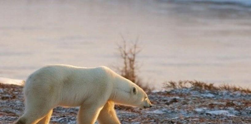 Глобальное потепление убьёт белых медведь и коралловые рифы к 2100 году