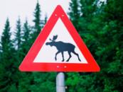 Осторожно — лось! Пермские экологи просят автомобилистов быть внимательнее
