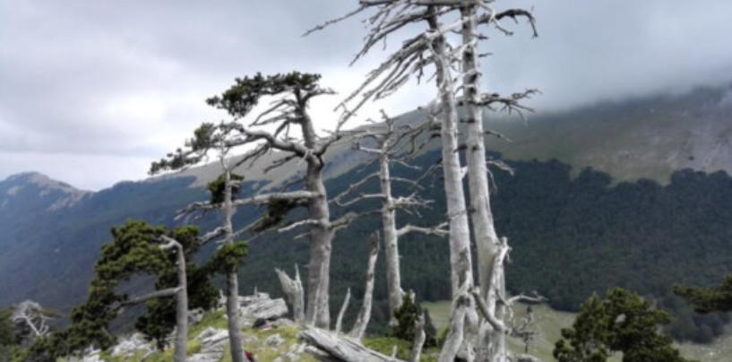 На юге Италии найдено самое старое дерево в Европе
