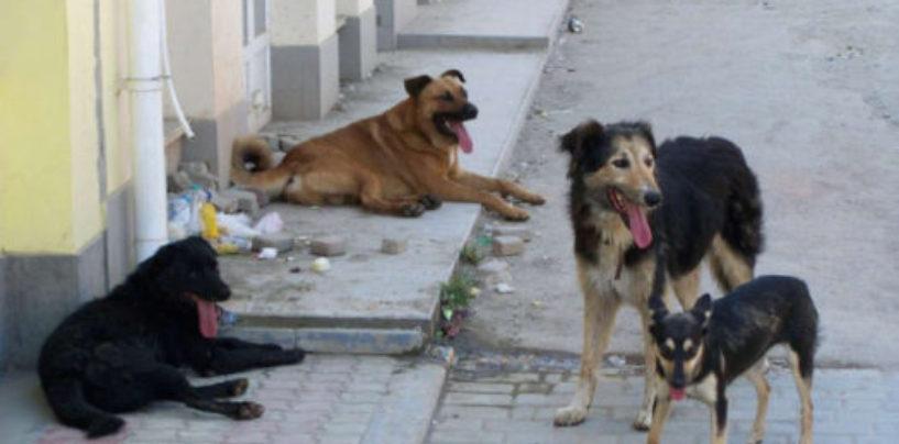 Почему воронежцы выступили против «гуманного решения» проблемы бродячих собак