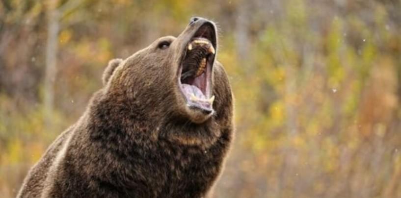 Соответствует ли действительности информация о нападении медведя на человека?