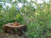 Всемирный фонд дикой природы (WWF) обнаружил факт продажи 45 охраняемых лесных участков, запрещенных к вырубке.