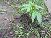 Минпромторг предлагает разрешить выращивание наркосодержащих растений