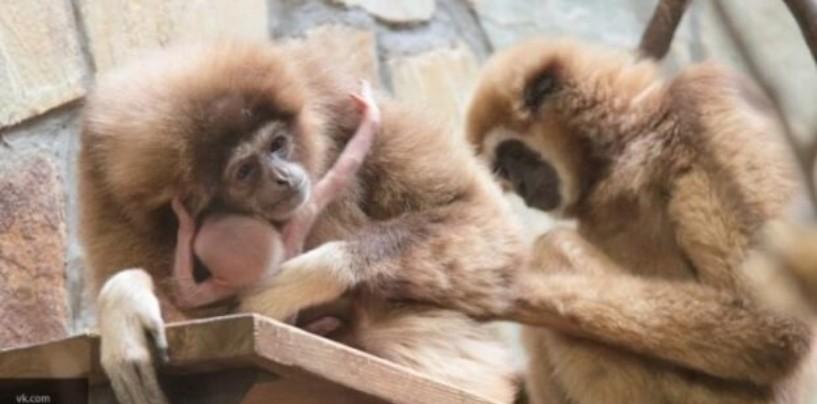Китаю грозит вымирание приматов