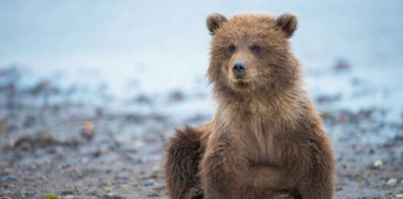 В Уфе бегающий во дворах медвежонок скрылся от спасателей