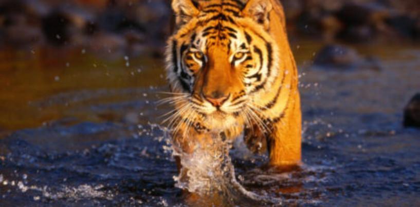 Ученые раскрыли секрет эволюции тигров с помощью генетического анализа