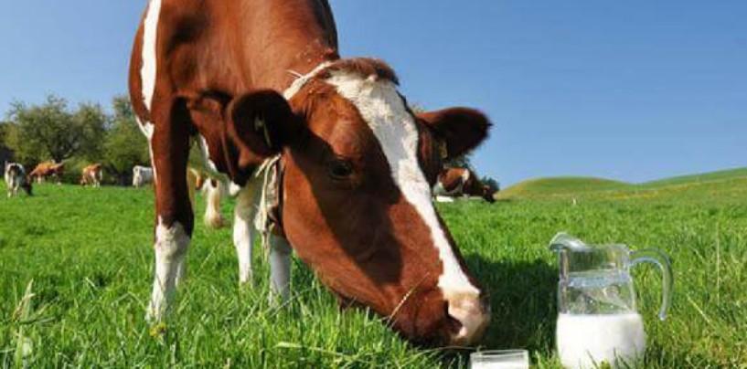 Экологи паникуют: украинские коровы дают чернобыльское молоко